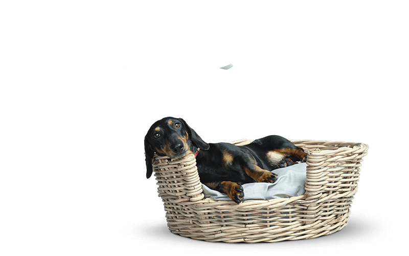 Stanley the dachshund sitting in a basket