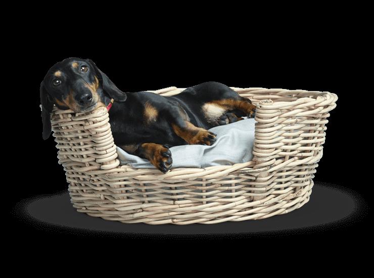 Stanley the dachshund sitting in a basket