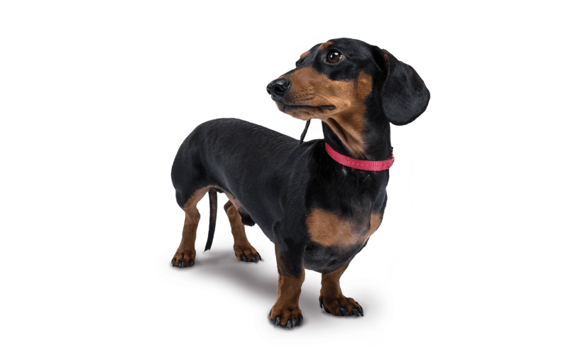 dachshund looking to side